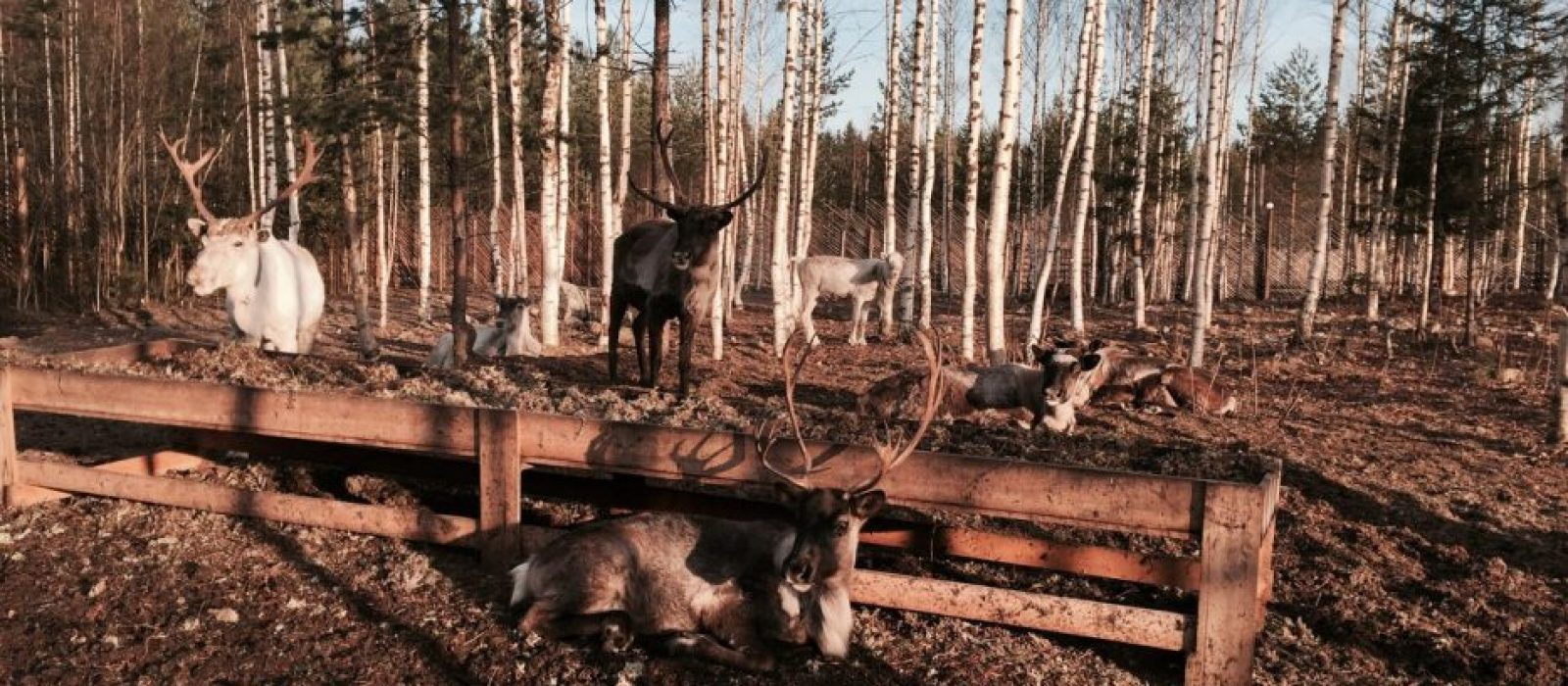 В гости к хаски и оленям